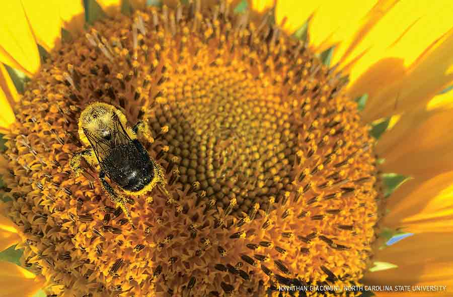 Common eastern bumble bee on a sunflower
