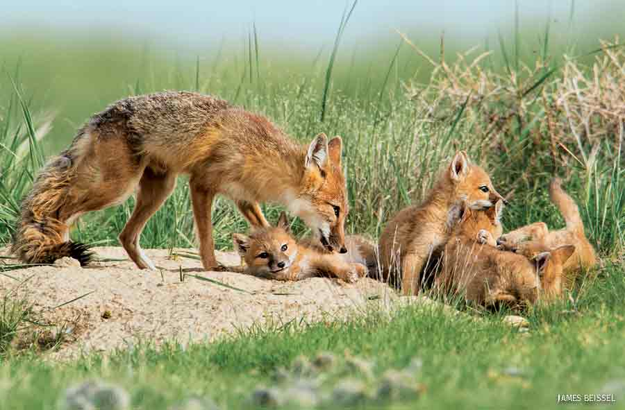 Swift Foxes, Pawnee National Grassland, Colorado