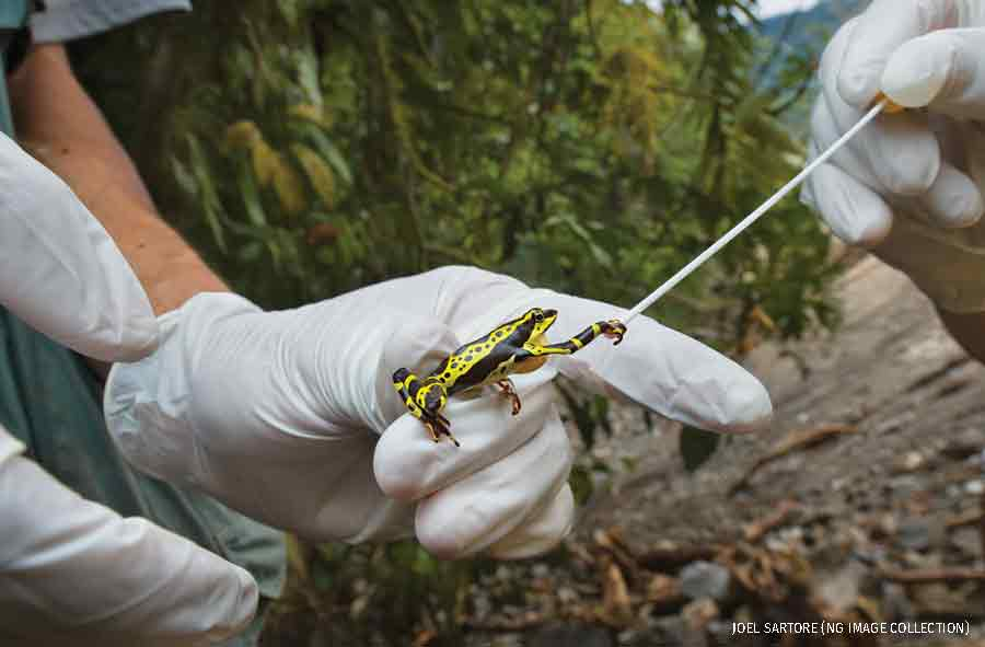 Scientists in the Andes test an Atelopus frog for chytrid fungus