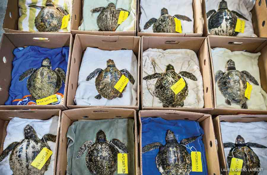 Kemp ridley's await shipment to the New England Aquarium for treatment before release