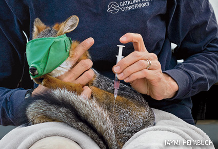 Catalina Island Conservancy biologists vaccinate an island fox against distemper and rabies.