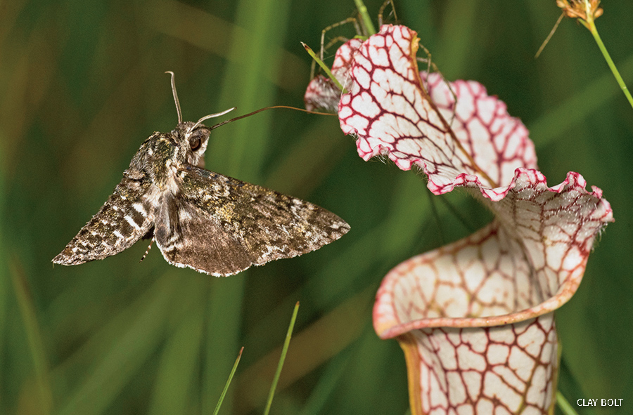 Hawk moth drinks nectar from white-topped pitcher plant.