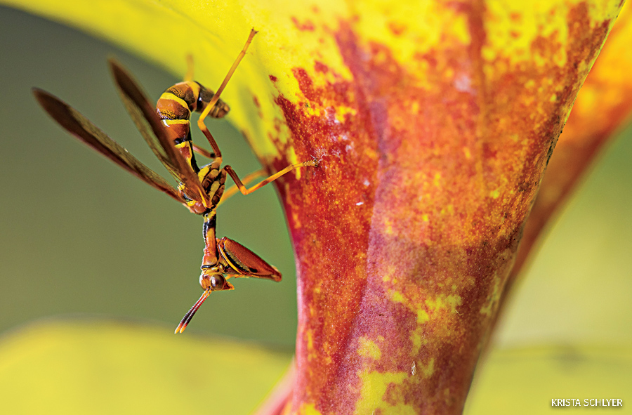 Mantid fly on yellow pitcher plant.