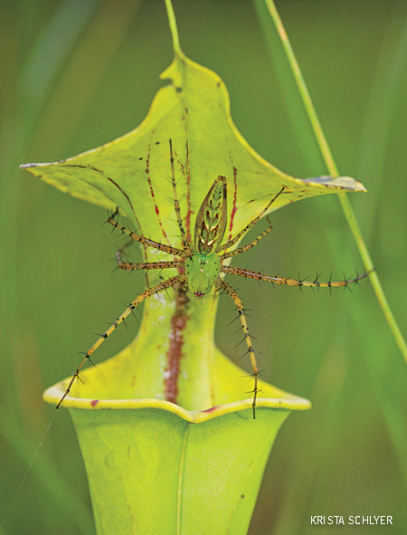Green lynx spider waits for prey on a pitcher plant, Green Swamp, North Carolina