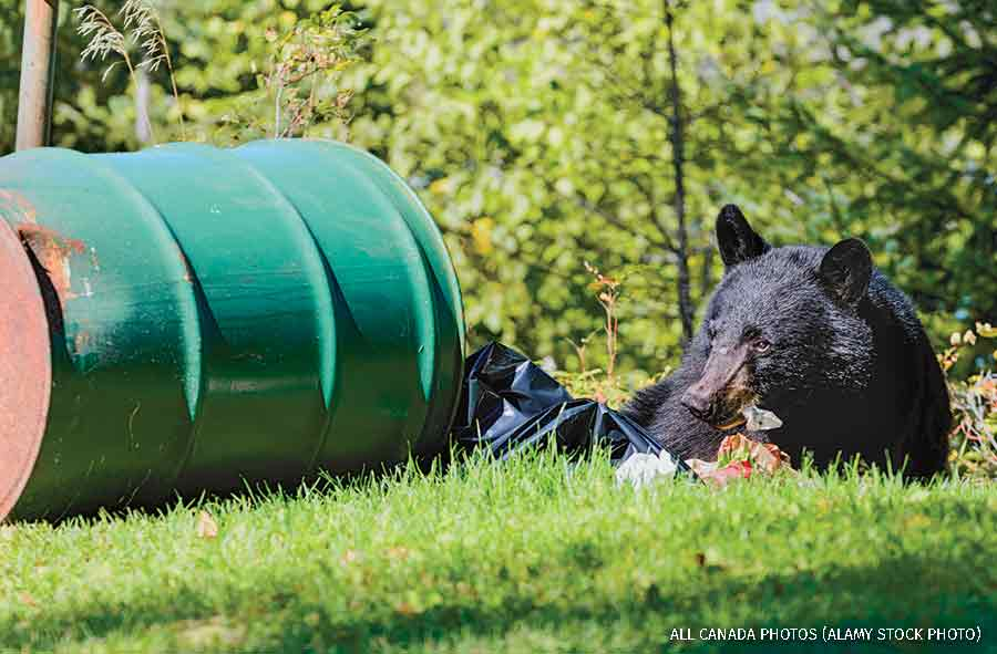 young black bear enjoys food from a garbage can