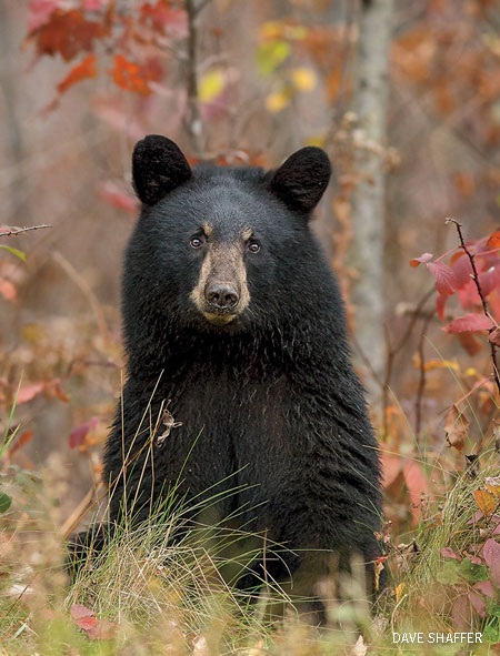 Black Bear, October, Hayward, Wisconsin