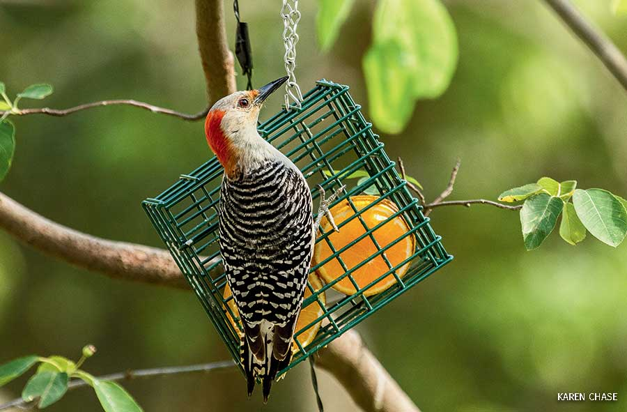 A red-bellied woodpecker at a feeder