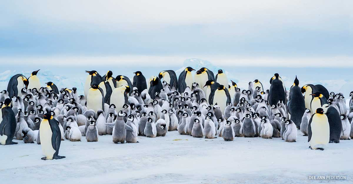 Emperor Penguins in Snow Hill Island, Antarctica