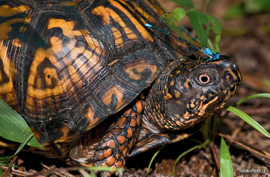 A Box turtle with a damselfly on its head in Rock Hill, SC.