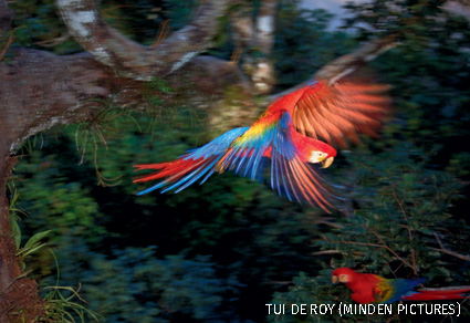 Scarlet Macaw flying in rainforest canopy, upper Tambopata River, Peruvian Amazon, Peru.