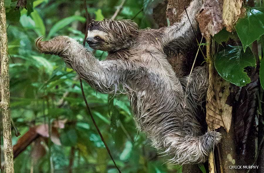 A Three toed sloth in a tree in Costa Rica
