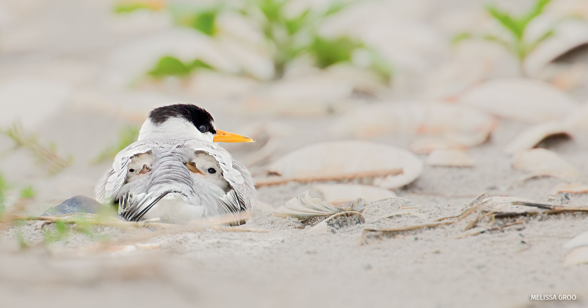 Two, tiny least tern hatchlings nestled under the parent's wings, Long Beach Island, New Jersey