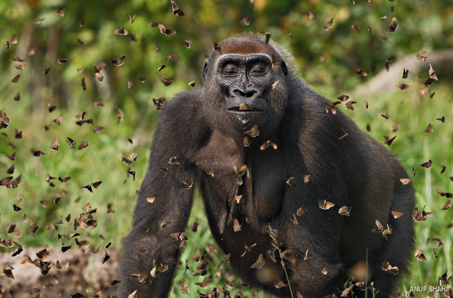 young gorilla with butterflies