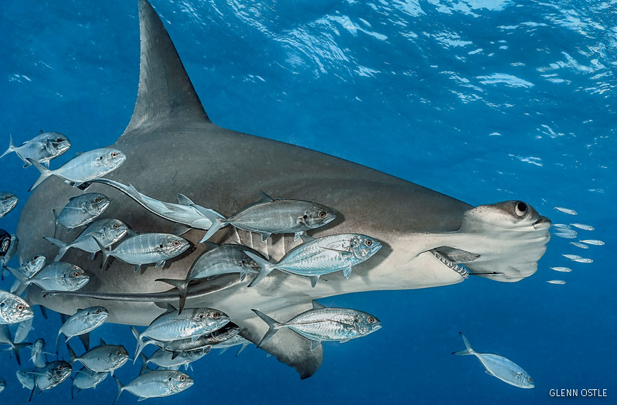 hammerhead shark with fish