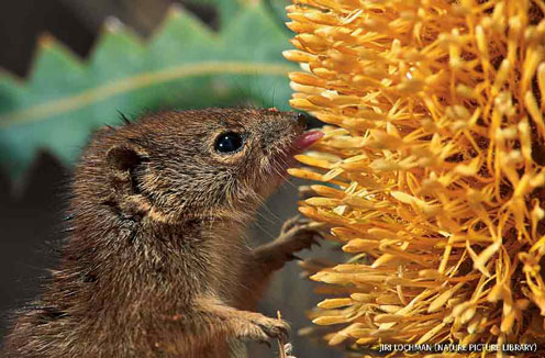 Little red kaluta feeding on Ashby's Banksia flower