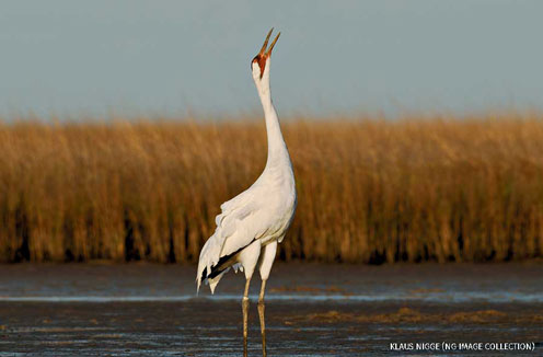 A whooping crane calling in muddy pond at wintering grounds