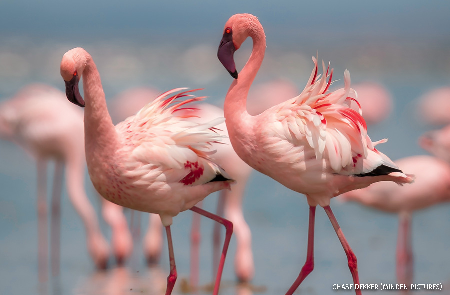 Lesser Flamingo pair displaying in dominance fight,