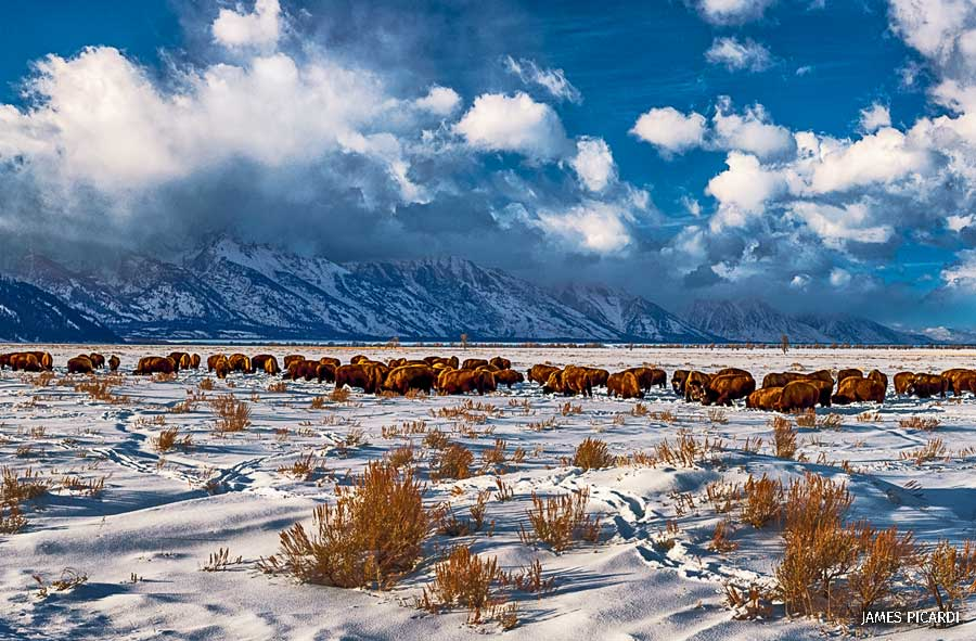 A group of bison moving through snow with the Tetons in the background