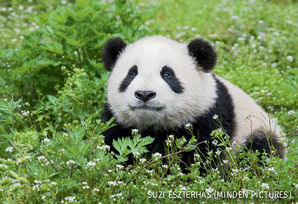 Six-to-eight month old giant panda cub in grass and flowers