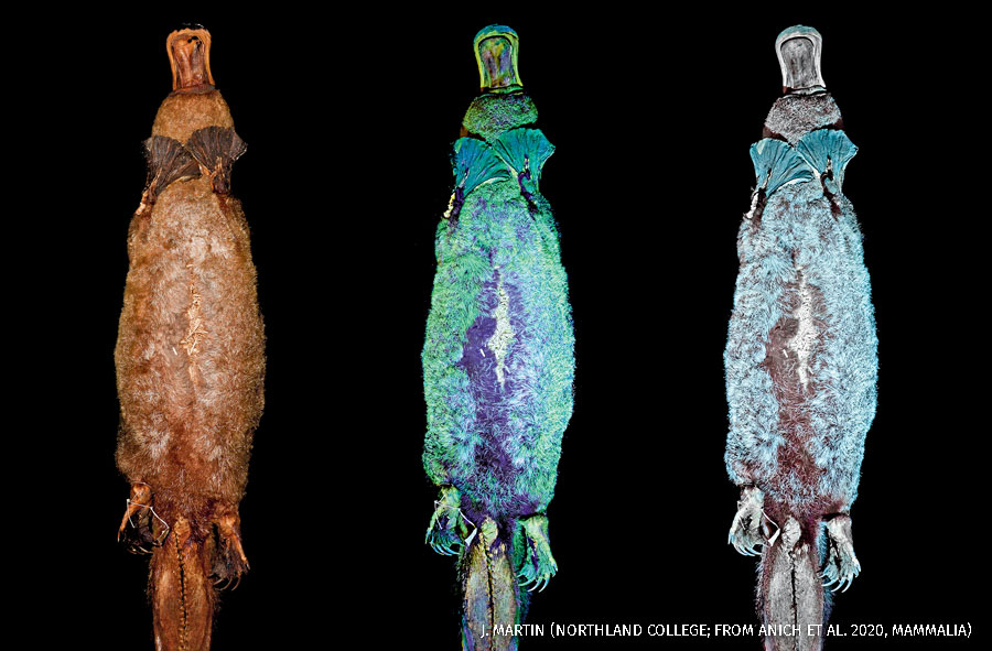 A composite of three bioluminescent images of a platypus