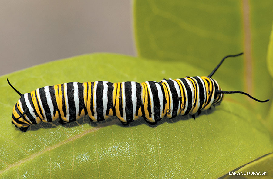 A monarch butterfly caterpillar on a leaf.