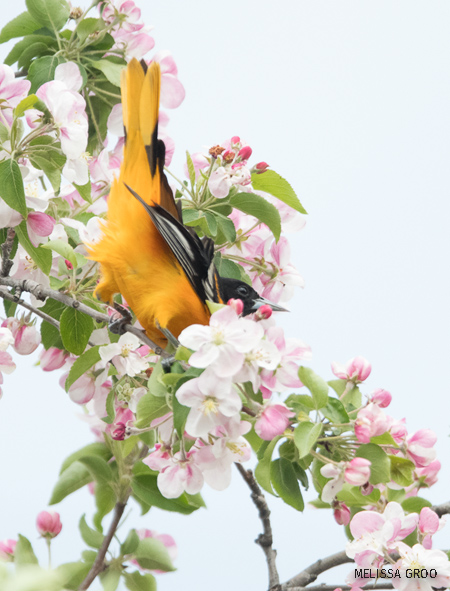 A Baltimore oriole in a tree with pink flowers