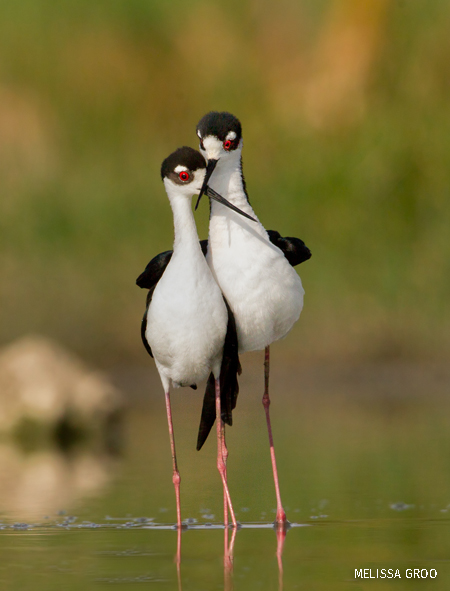 A pair of black-necked stilts cross their beaks after mating