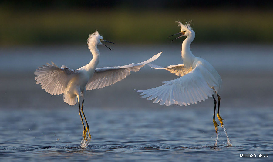 A pair of snowy egrets appear to be dancing in midair