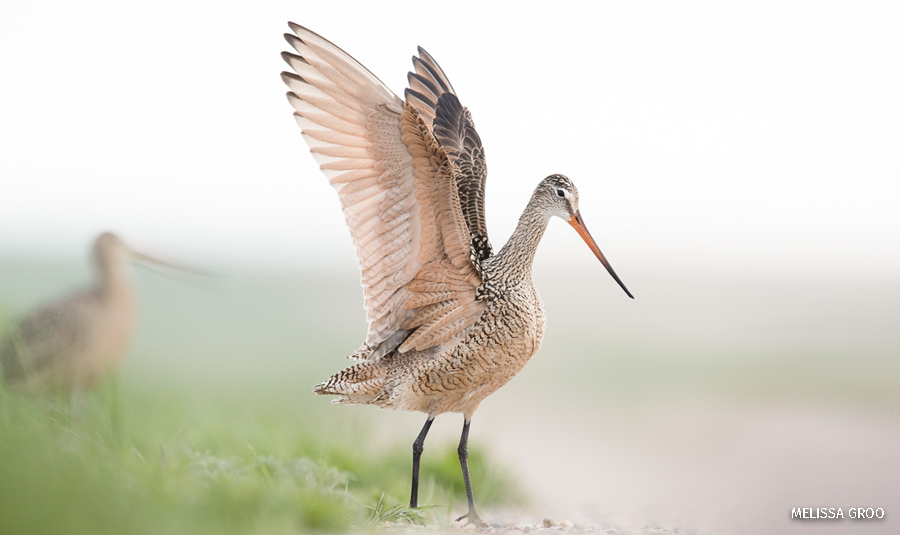 A marbled godwits stretches its wings