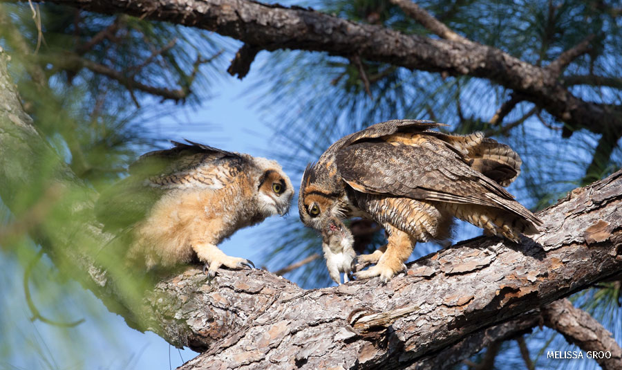 A great horned owl feeds its young while its mate watches