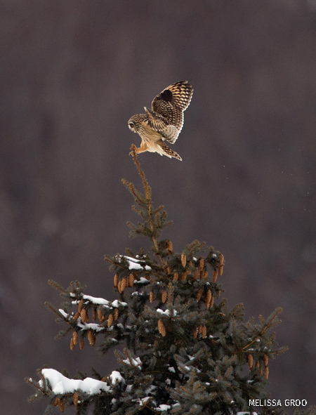 A short-eared owl comes in for a landing on top of a tree