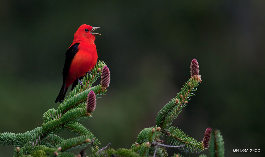 A scarlet tanager perches on top of a branch