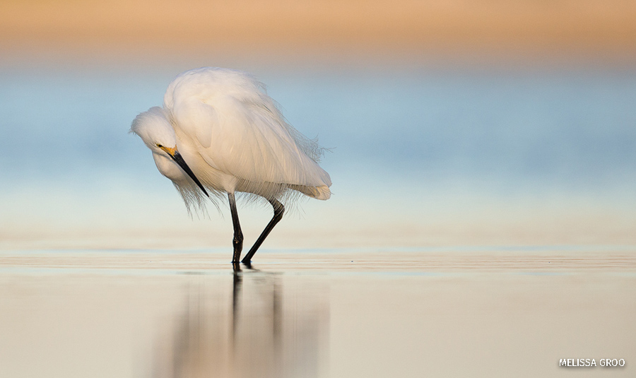 A white egret wades through water