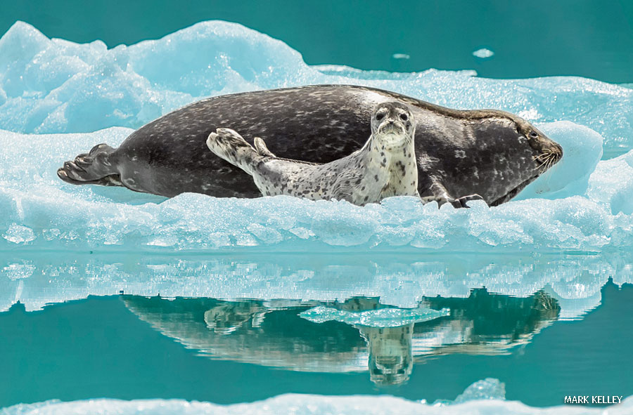 An iceberg in Tracy Arm-Fords Terror Wilderness in Alaska offers a harbor seal and her pup a safe moment of rest.