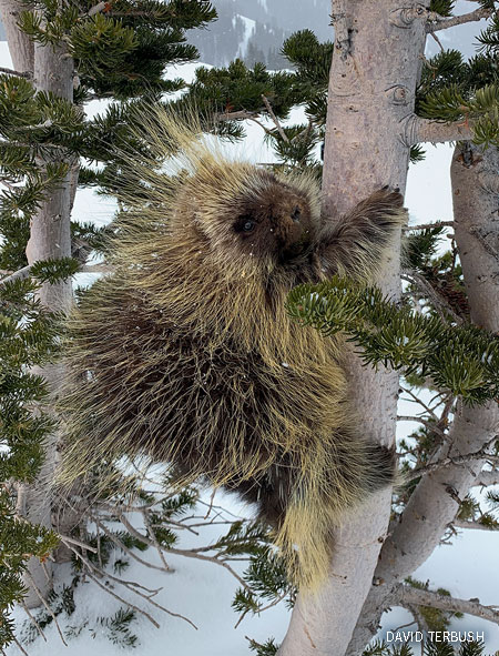 A porcupine climbs a tree at a ski resort in Colorado.