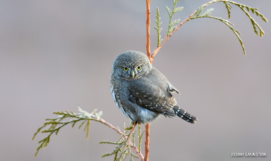 A northern pygmy owl stares down the camera from a branch in British Columbia, Canada.