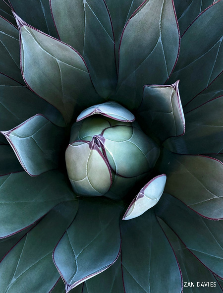 A close up photo of a succulent's leaves.
