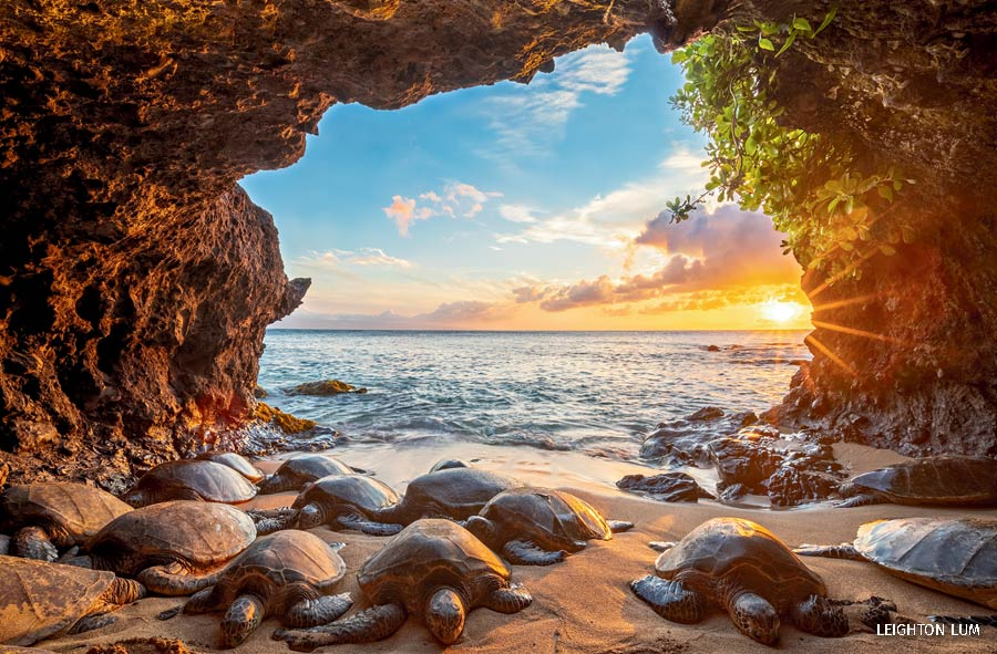 A group of green sea turtles rest in the sand as the sun goes down in Maui, Hawaii.