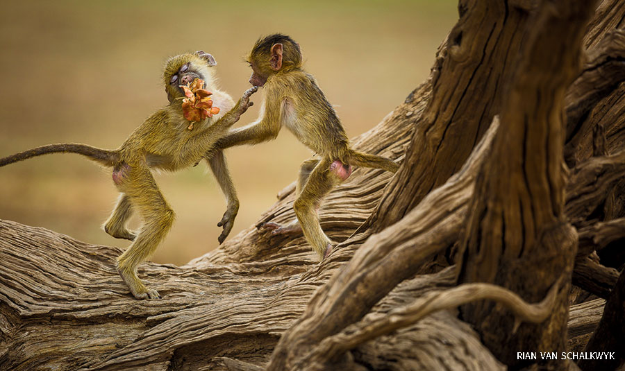 A pair of yellow baboons play on a gnarled camelthorn tree in Zambia.