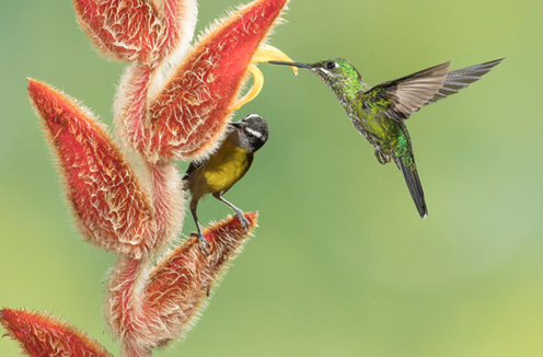 Bananaquit and green-crowned brilliant, Highlands region, Costa Rica