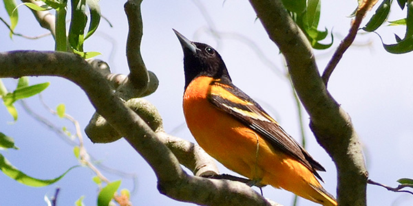 Baltimore Oriole in Virginia by Susan Etherton
