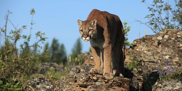 mountain lion on rocks