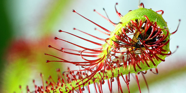 Sundew Flower Sundews