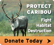 Help protect caribou today!