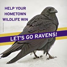 Help Wildlife Win Ravens