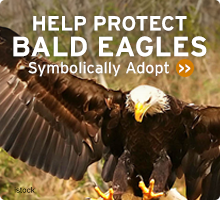 Help Wildlife. Symbolically adopt a bald eagle today!