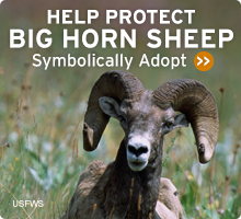 Help Wildlife. Symbolically adopt a bighorn sheep today!