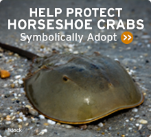 Help Wildlife. Symbolically adopt a horseshoe crab today!