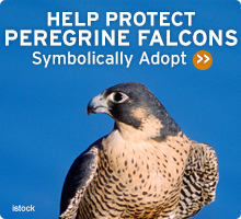 Help Wildlife. Symbolically adopt a falcon today!