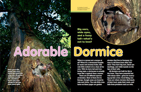 Ranger Rick November 2011 Dormice Article